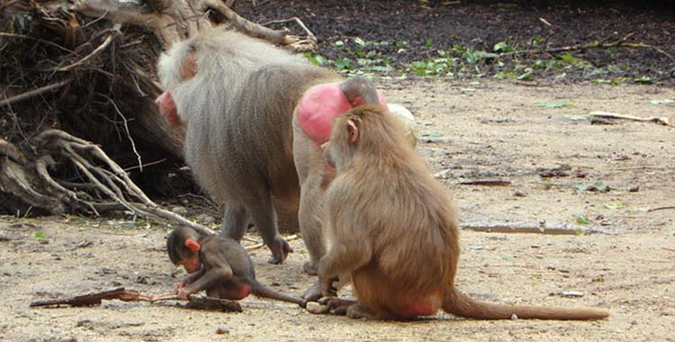 El infanticidio en los babuinos